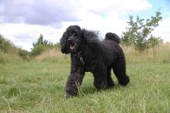 Black dog walking outside