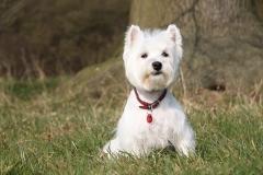 White dog sitting in field