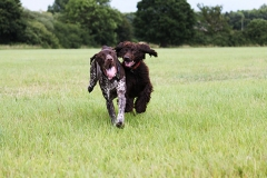 Dogs playing on the field