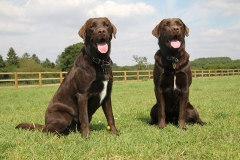 Brown labs together