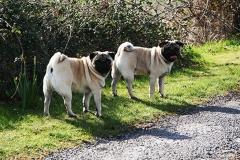 Pugs walking