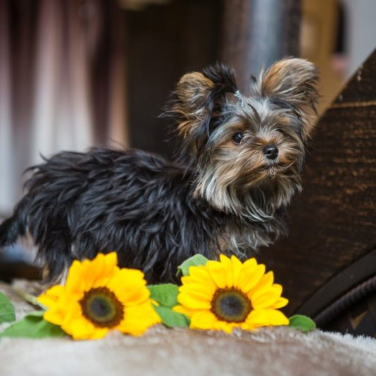 Dog with sunflowers